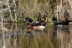 ducks in the Wetlands in the Ashhurst Domain