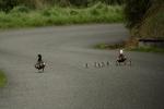 Paradise duck family