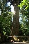 old totara tree