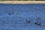 Black Swans on the lake