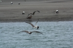 Gull being chased by another. When the gull landed all the birds wanted what he/she had.