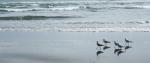 Gulls and their shadows walking along the beach