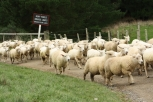 The sheep had right of way