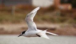 Riversdale, white - fronted tern