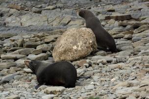 NZ Fur Seals, Mataikona Rocks