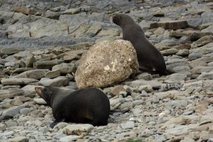 NZ Fur Seals, Mataikona Rocks