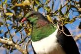 Kereru (NZ Pigeon)
